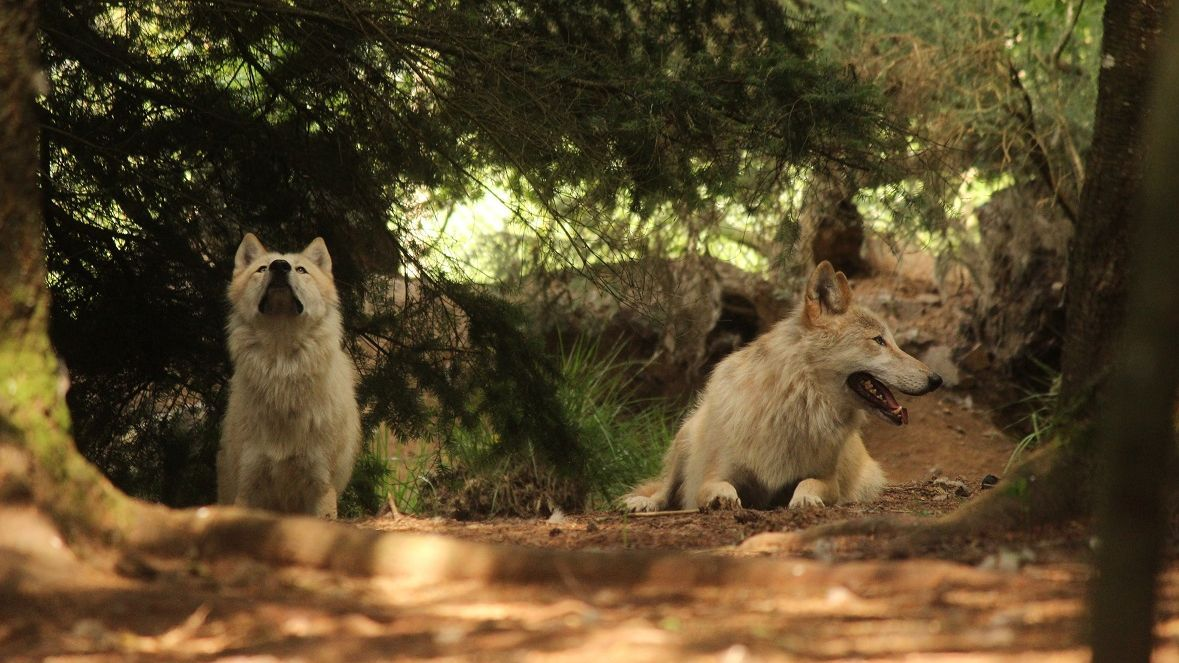 Refuge des loups de Coat Fur